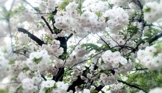[C]2014年大阪造幣局の桜の通り抜けレビュー