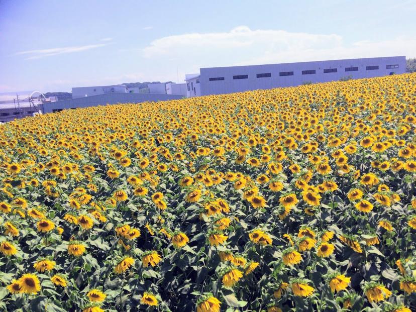 [C]360度ひまわりに囲まれたインスタ映えな写真撮影ができる観光農園花ひろば。個人的な南知多ナンバーワン観光スポット